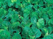 Cabbage Mastergreen - Pointed -  min 200 seeds